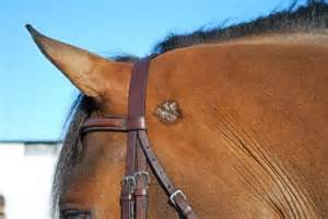 Thomason and Ritchie Equine vets talk about Sarcoids