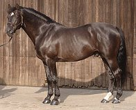 ROULETTE – GRAND PRIX STALLION – OWNED BY CLIVE HALSALL – 16HH BLACK OLDENBURG STALLION