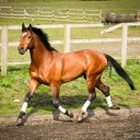 "Young Event Stallion. Licensed KWPN ""BACKFIRE"""