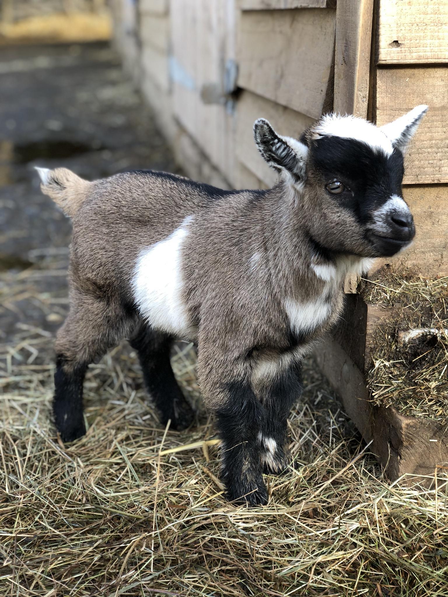 garricks goats