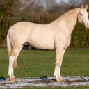 Multicouture – AES and SPSS approved perlino tobiano Warmblood Stallion